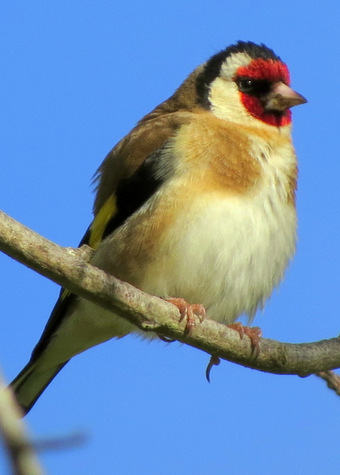guide to birds of tasmania Australia European goldfinch