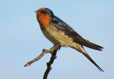 guide to birds of Tasmania Australia welcome swallow