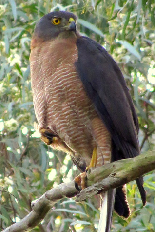 guide to birds of Tasmania Australia brown goshawk
