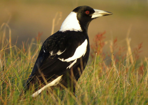 guide to birds of Tasmania Australia Australian Magpie
