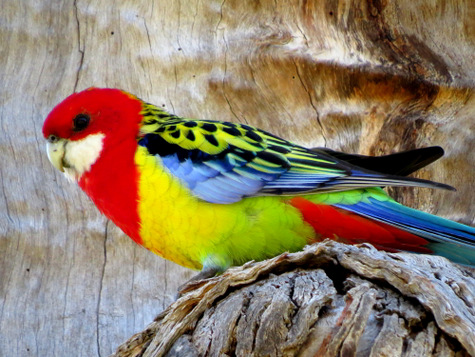 guide to birds of Tasmania Australia eastern rosella