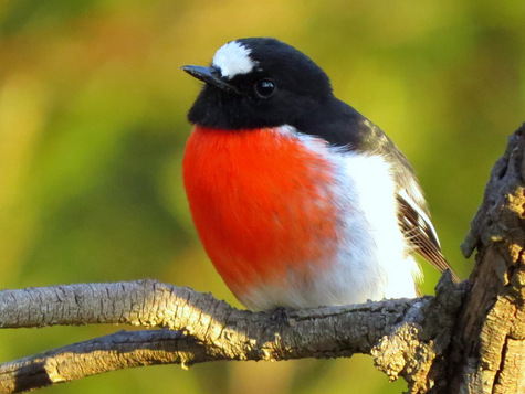 guide to birds of Tasmania Australia scarlet robin
