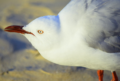 guide to birds of tasmania Australia silver gull