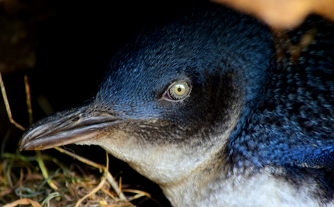 guide to birds of tasmania Australia little penguin