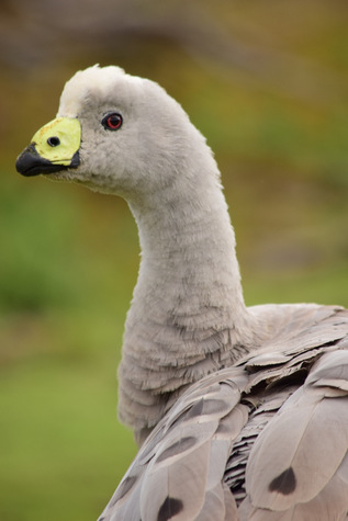 guide to birds of tasmania Australia cape barren goose