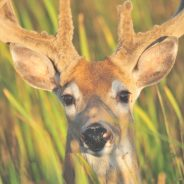 6 Tips for Becoming a Great Deer Photographer