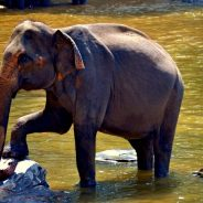 Elephant Saves Man From Perceived Drowning